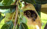 Wespen in een peer.