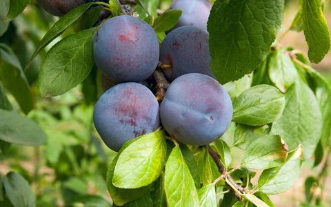 Het Nederlandse pruimenseizoen loopt van juli tot september.