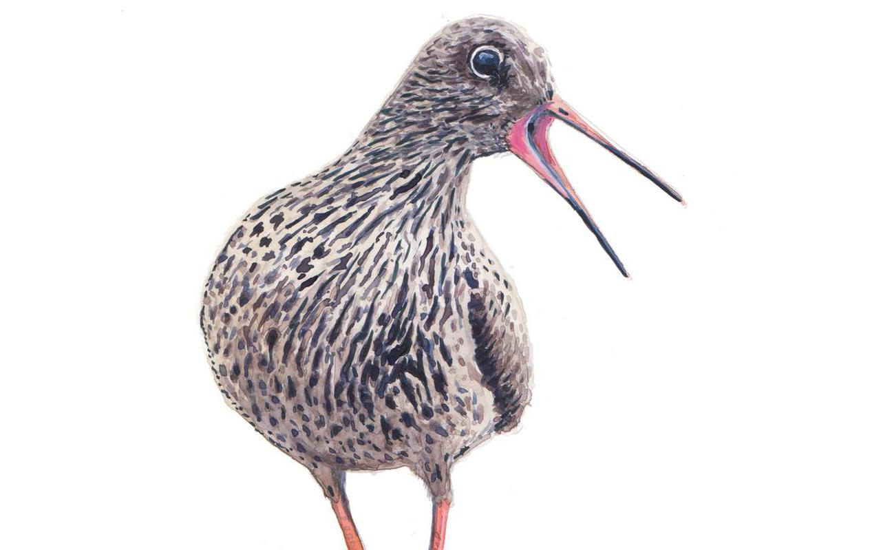 Tureluur, illustratie uit boek 'Vogels van de wadden: 25 verhalen'.