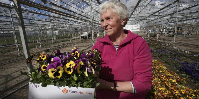 Lammie de Haan oogst de laatste viooltjes in de kas van haar kwekerij Mariënburg. FOTO NIELS WESTRA