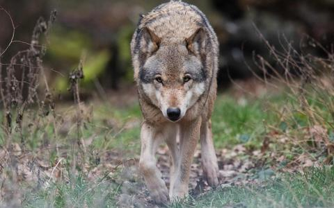 Opnieuw wolf gezien in Friesland: het dier werd in de omgeving van Katlijk gefilmd