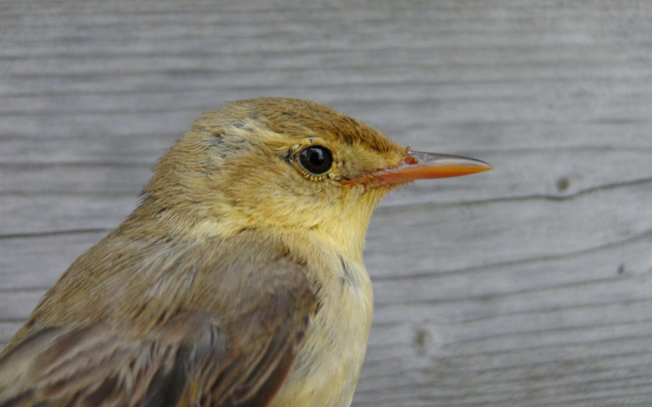 Orpheusspotvogel. Foto Bareld Storm