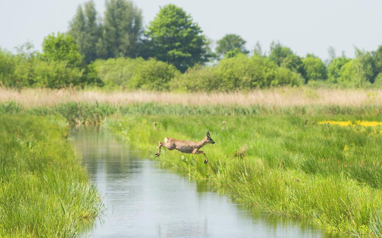 Zompig land, veel leven en water tot aan de rand van de sloot in de veenweide bij De Veenhoop.