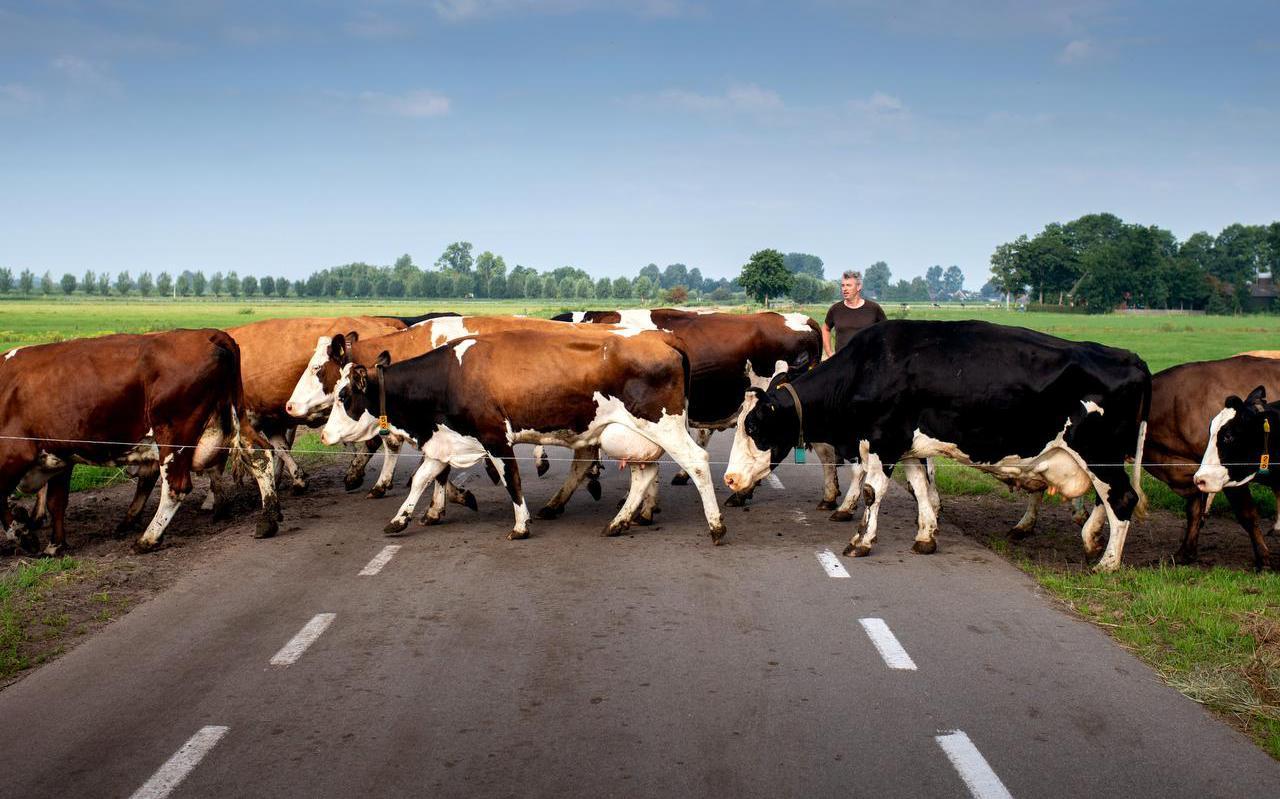 Cor van Oostrom laat zijn koeien over de weg
