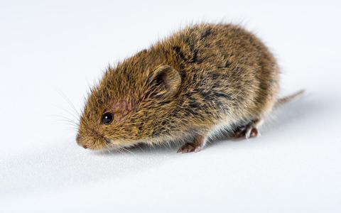 De muizenpiek raakt heel Europa, en dus willen wetenschappers actie