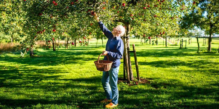 Griet Bergsma plukt een appel uit het appelhof naast haar huis in Luxwoude. FOTO JILMER POSTMA