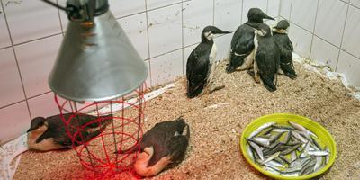 Verzwakte zeekoeten sterken bij in vogelopvang De Fûgelhelling in Ureterp. FOTO MARCEL VAN KAMMEN