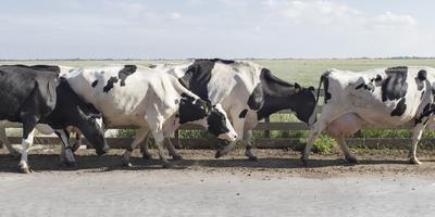 De koeien van Rolf Timmer, melkveehouder in Westerbork, de neef van Hiske Versprille. FOTO SABINE GROOTENDORST