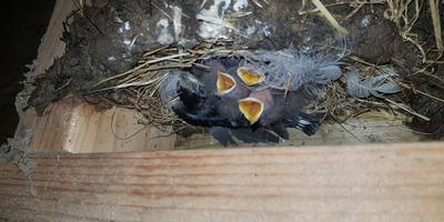 Nest boerenzwaluwen met een geadopteerd jong tussen de andere kuikens.