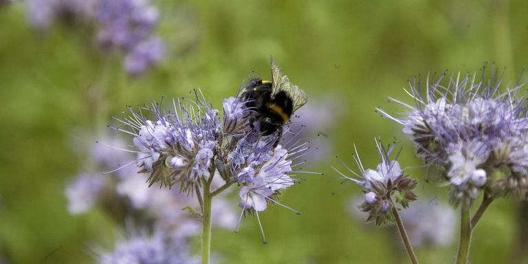 Een aardhommel haalt nectar uit een phacelia.