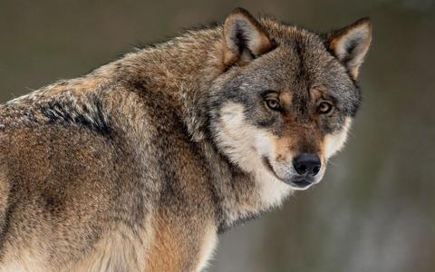 'Roodkapje-motie' in raad Ooststellingwerf uit protest tegen wolvenbesluit provincie