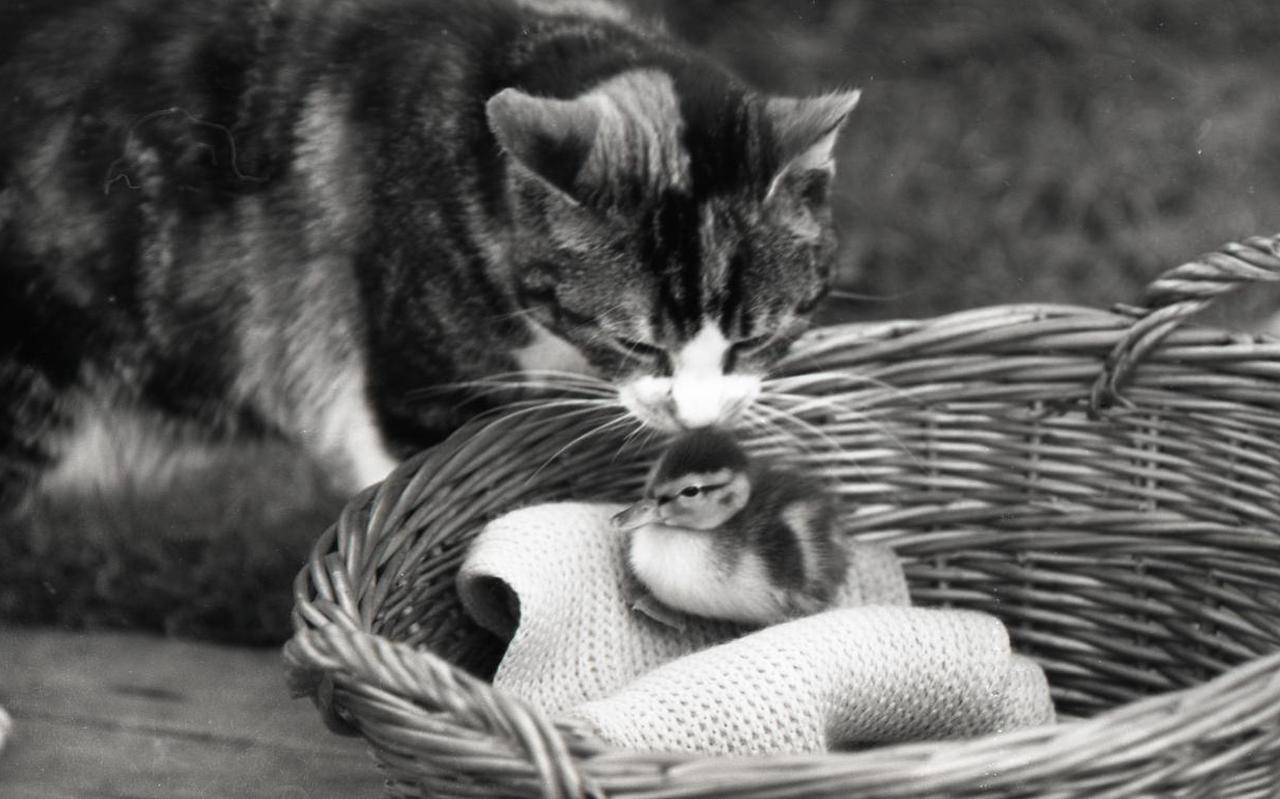 Kat met eendje in de mand, 1962.