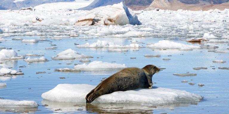 Zeehond op stuk ijs. FOTO MARCEL VAN KAMMEN