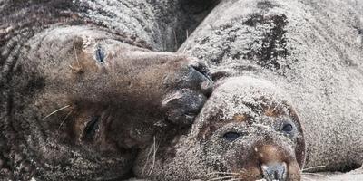 Zeehonden dragen bij aan het hoge knuffelgehalte van de Wadden.
