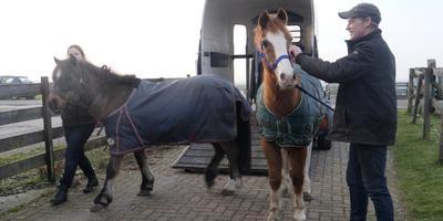 De pony's kunnen bijkomen in de stallen van de Stichting Opvang Oude Manegepaarden en -pony's. Foto LC