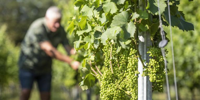 Door zon en droogte rijpen de druiven bij wijngaard De Frysling uit Twijzel als een tierelier. FOTO HOGE NOORDEN/JACOB VAN ESSEN