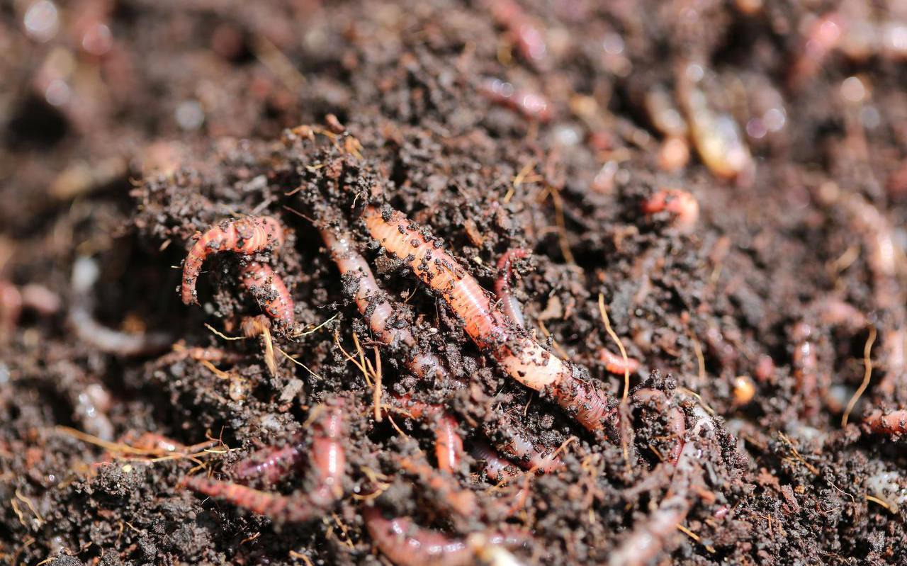 Rode wormen sleuren de hele nacht dood plantenmateriaal in de bodem.