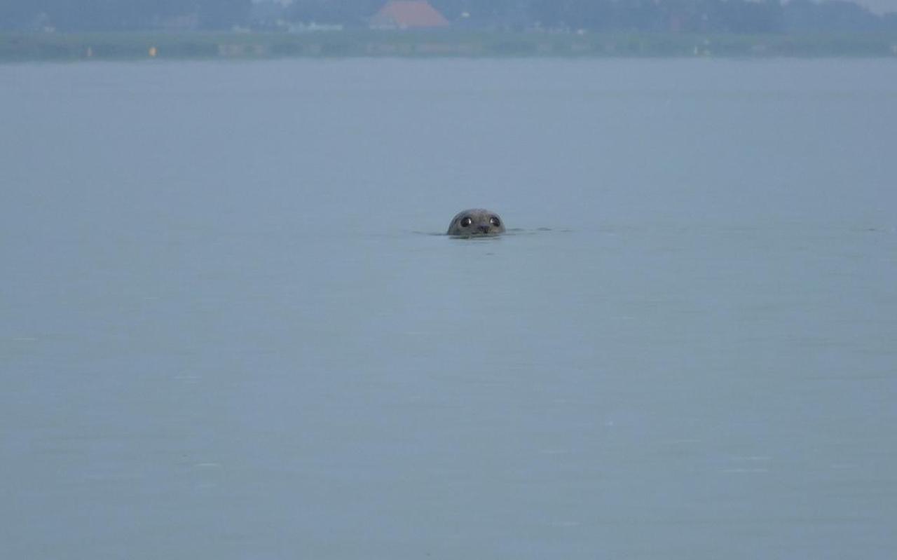Zeehond bij Mirns met bovenin de kustlijn van het IJsselmeer. FOTO RUUD MEURS