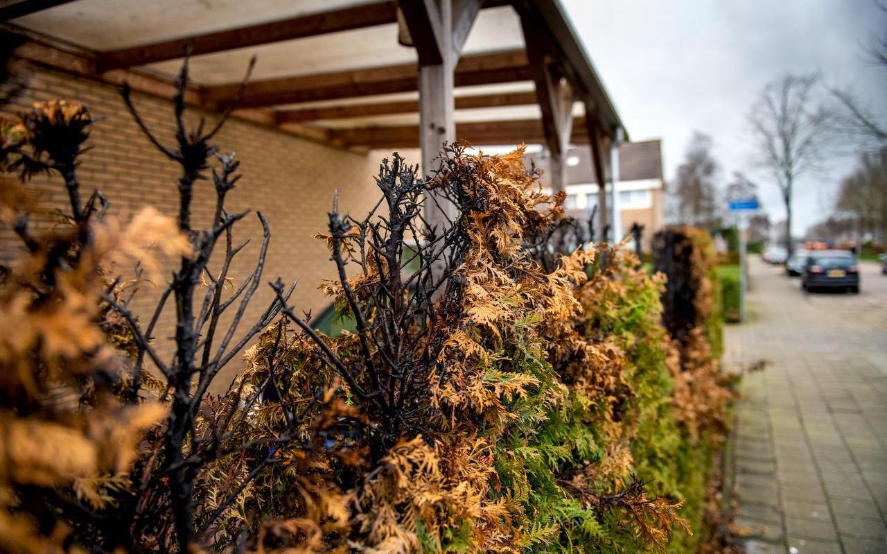 De coniferenhaag bij een woning aan de Bloemkamp in Drachten is voor de tweede keer in acht jaar in de brand gestoken.