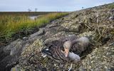 NVWA bevestigt: dode en zieke vogels langs Friese kust besmet met vogelgriep