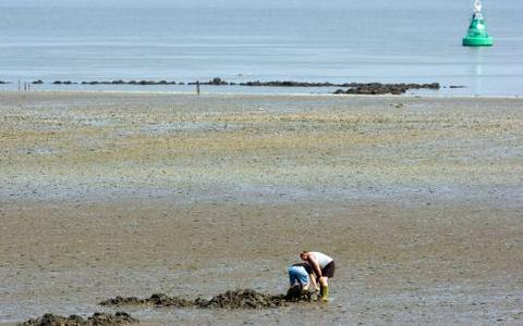 Massale kokkelsterfte in Waddenzee tijdens warme zomer