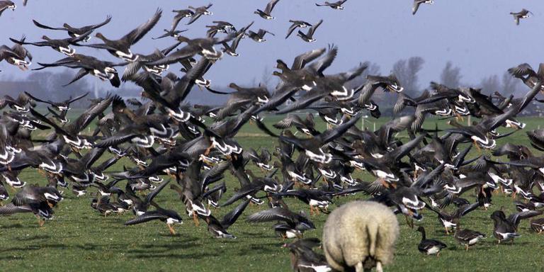 Ganzen concurreren met schapen om het gras in de weilanden bij Workum.