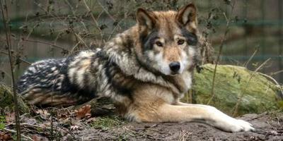 Rodewalder wolf mag worden afgeschoten