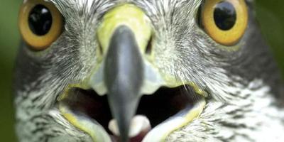 Havik uit nest geschoten in Wier