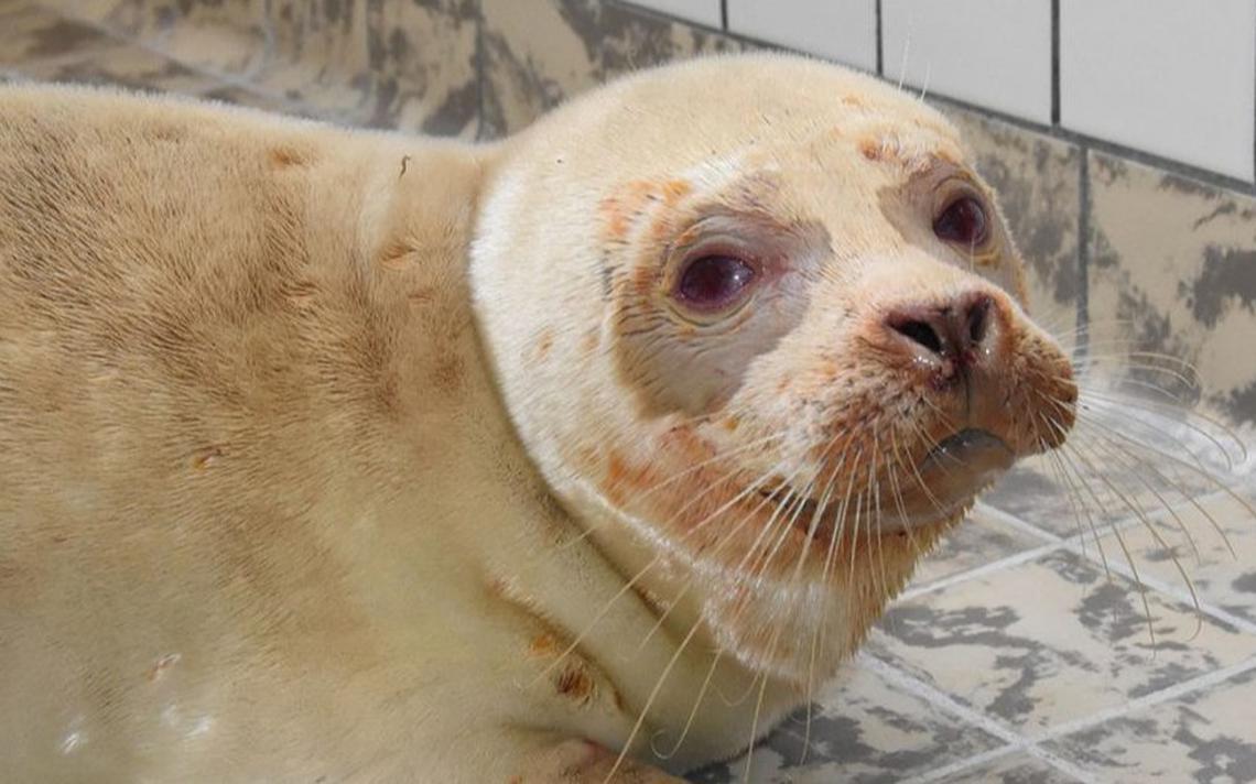 Dode zeehondenpup spoelt aan op Terschelling - Terschelling - Leeuwarder Courant