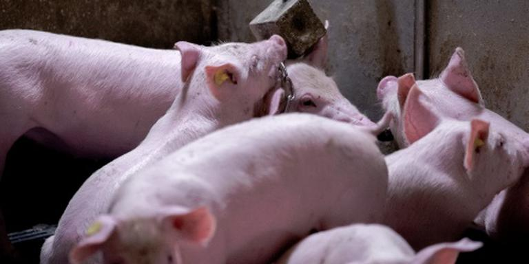 Honderden varkens dood door brand