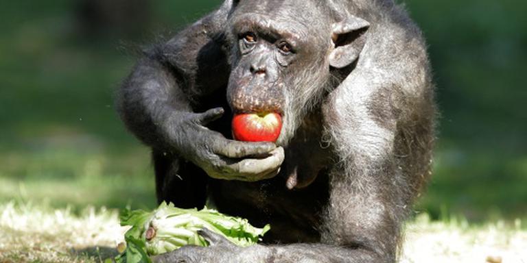 Oudste chimpansee (59) van Nederland dood