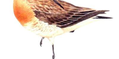 Grutto gekozen tot nationale vogel