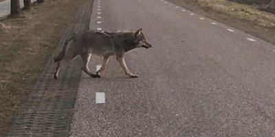 Laatste Friese wolf in 1712 gedood