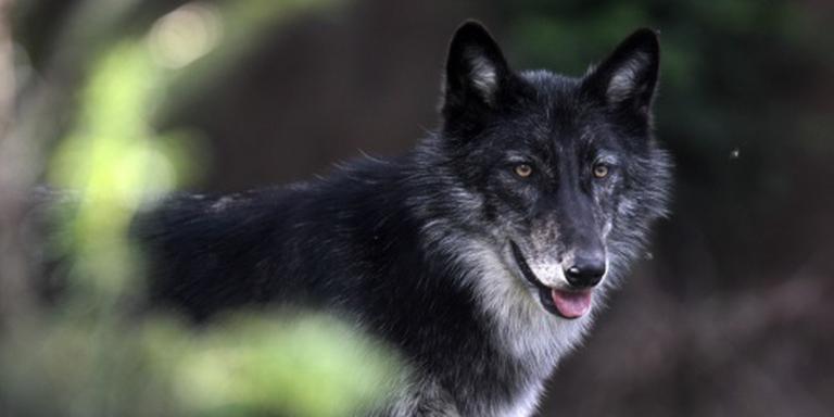 Te nieuwsgierige wolf doodgeschoten