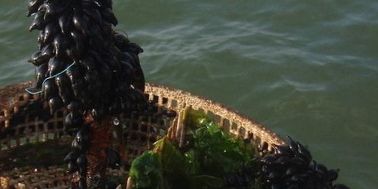 Eitjes van de zeekat worden uit de Waddenzee gevist. FOTO TWITTER @RIJKEWADDENZEE