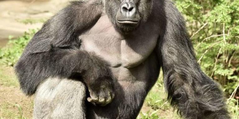 Golf van protest over doodschieten gorilla