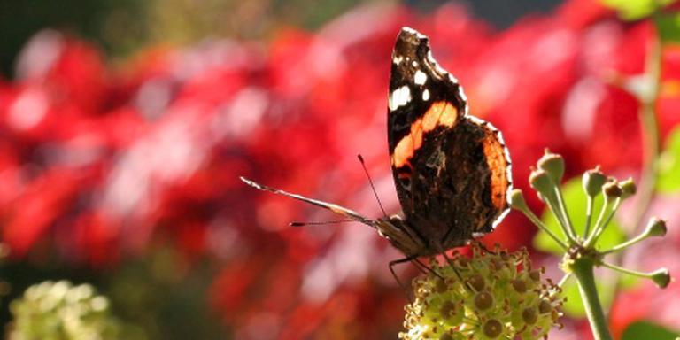 Atalanta weer meest getelde vlinder