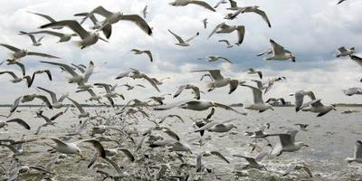 Nieuwe Vogelatlas: zeearend kwam, ortolaan weg. FOTO ANP