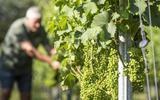 DeFryslingis de grootste en meest gerenommeerde wijngaard in Noord-Nederland.
