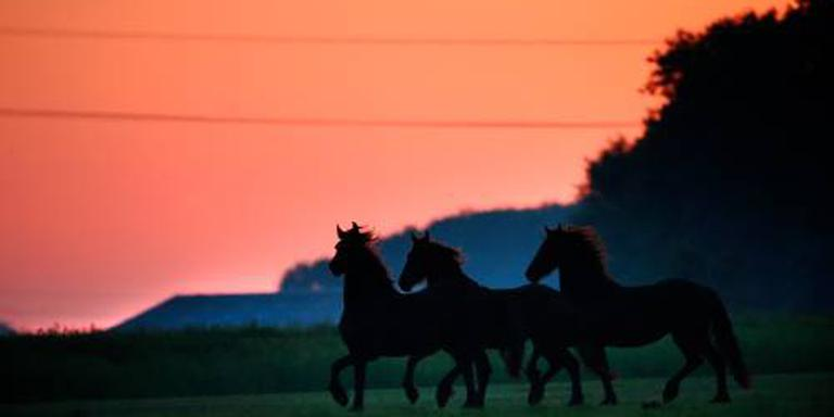 Friese paarden sterren in groots spektakel