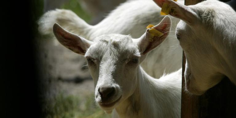 Gestaag meer geiten in Nederland