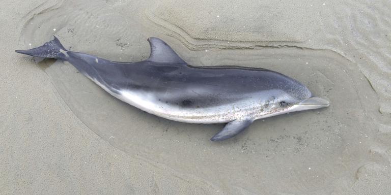 Twee dode dolfijnen op strand Ameland