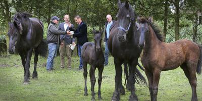 Het perk in om een Fries paard te winnen