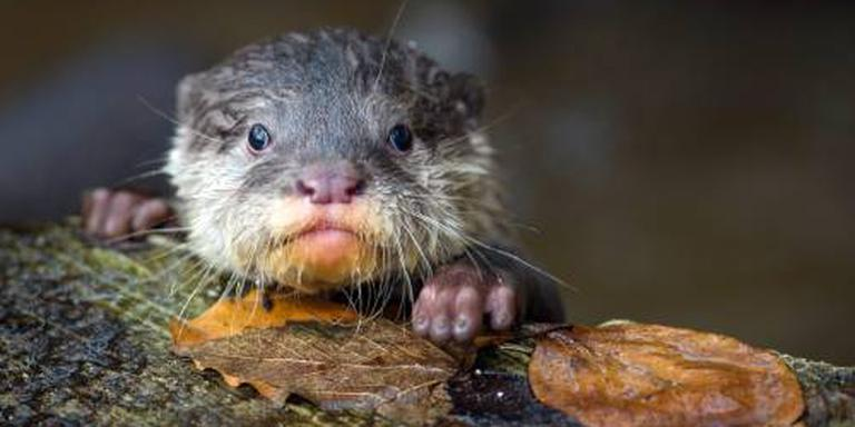 Een otter.