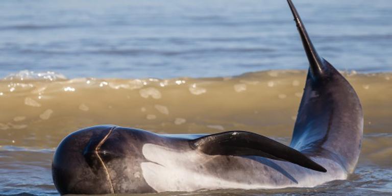 Tientallen walvissen overleden in Mexico