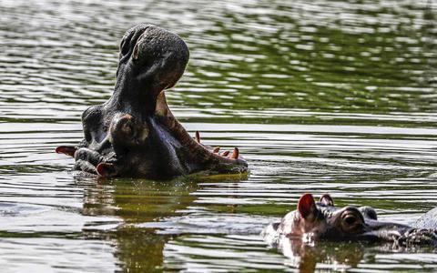 Narcobaas Pablo Escobar leeft dankzij zijn nijlpaarden voort in de wateren van Colombia: zijn ze een plaag of niet?