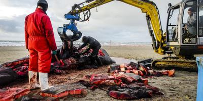 Naturalis onderzoekt dode potvissen