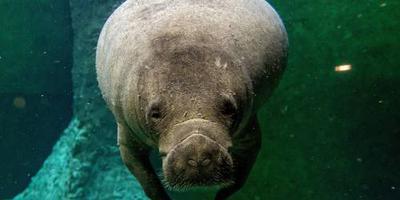 Gezonde zeekoe geboren in Burgers' Zoo