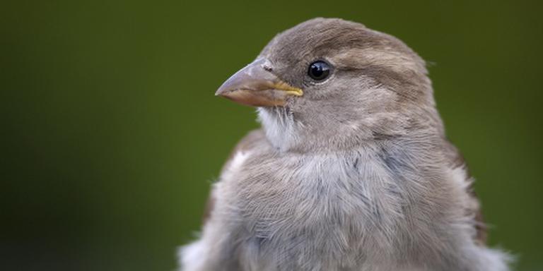 Huismus weer meest geteld met vogeltelling