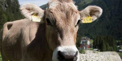 Koeien doden vrouw: 5 ton schadevergoeding